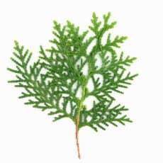 pino para rellenar ramos de flores
