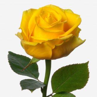 rosas amarillos, rosas por unidad, rosas a domicilio