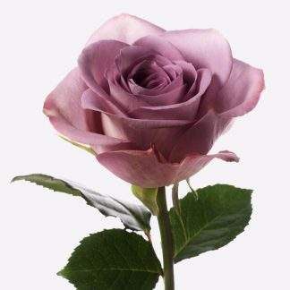 rosa morado, rosas naturales, rosas morados a granel, rosas a domicilio, envío de rosas mismo día Madrid