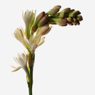 vara de nardo aromático a domicilio, flores de nardos para regalar, envío de nardos naturales Madrid, ramo personalizado de nardos aromáticos