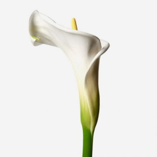 callas blancos a domicilio, envío de callas naturales blancos Madrid, ramo personalizado de calas blancos