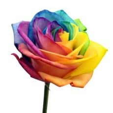 rosas naturales aro iris
