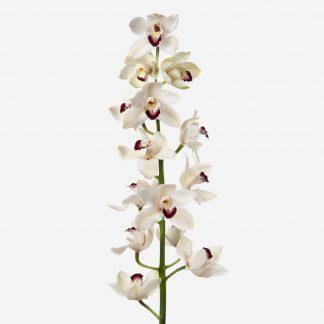 vara de orquídea blanco a domicilio, cymbidium natural blanco, orquídeas blancos Madrid, envío de orquídeas Madrid