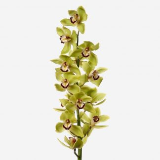 vara de orquídea verde a domicilio, orquídeas verdes naturales, envío de orquídeas Madrid