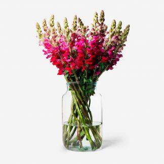 Antirrhinum morado, flor boca de dragón morado