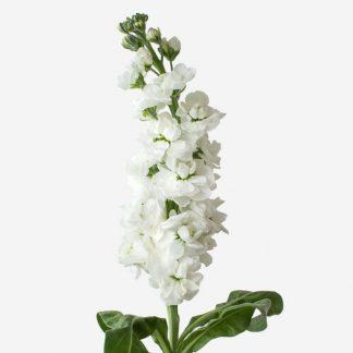 flor natural de alhelí blanco, alhelís blancos aromáticos a domicilio, alhelís por unidad y cantidad