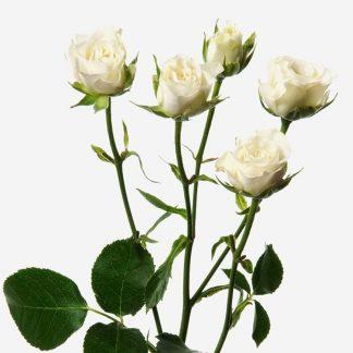Envío de rosas mini blancos Madrid, ramos de mini rosas, rosas pitimini a domicilio