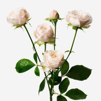 mini rosas crema a domicilio, ramo de rosas mini personalizados, envío de rosa mini