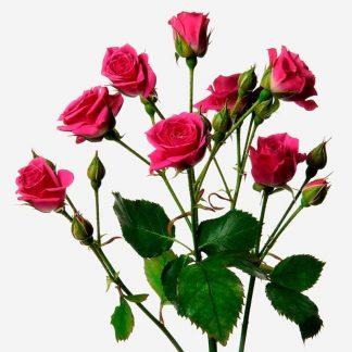 mini rosas fucsia, ramo de mini rosas fucsia a domicilio, envío de mini rosas fucsias