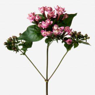 Flores de bouvardia rosado natural, envío de flores bouvardia, ramos personalizados con bouvardia, envío de bouvardia Madrid